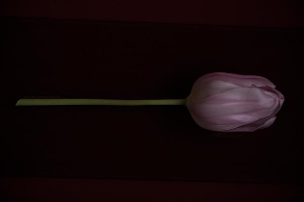 tulipe1-16-1