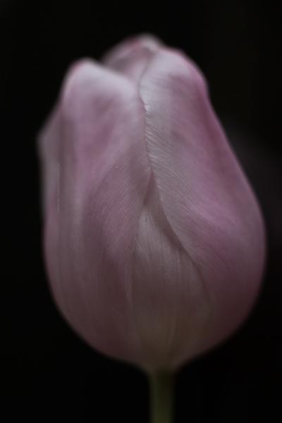 tulipe1-16-2