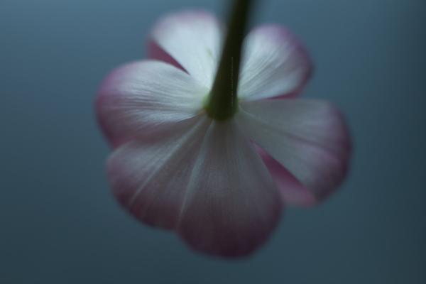 tulip7-2-16-1