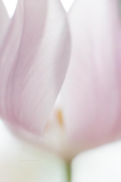 tulip8-2-16-2