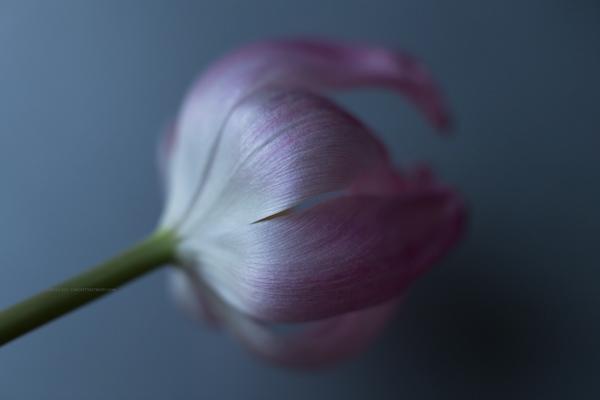 tulipe7-2-16-2