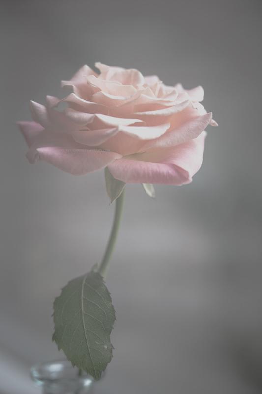 rose28-10-16