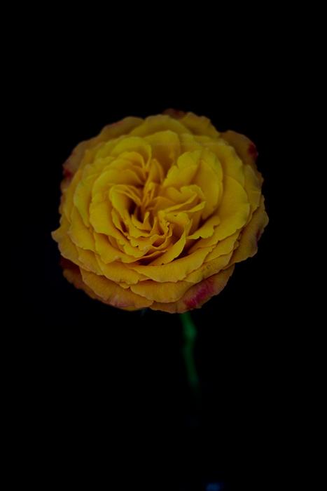rose16-11-16-2