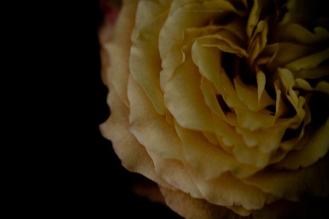 rose16-11-16-3