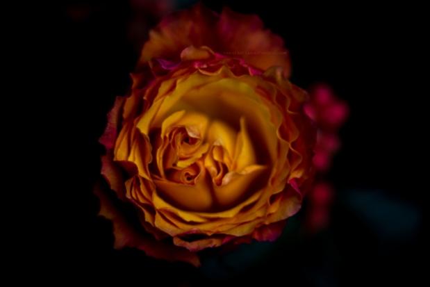 rose17-11-16