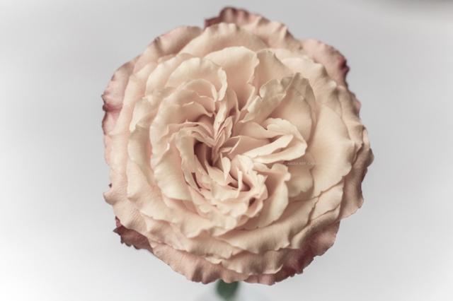 rosepastel16-11-16