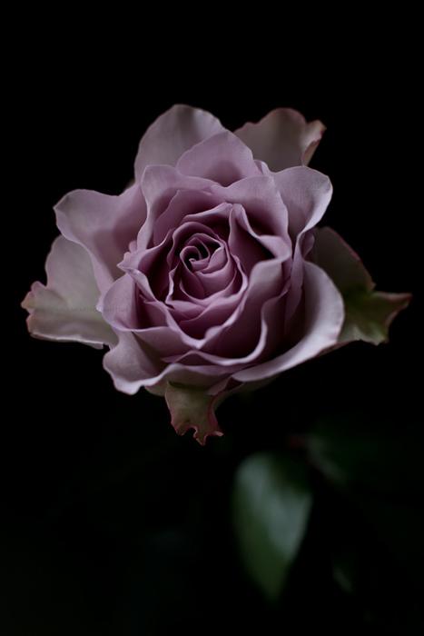 roseviolette8-11-16