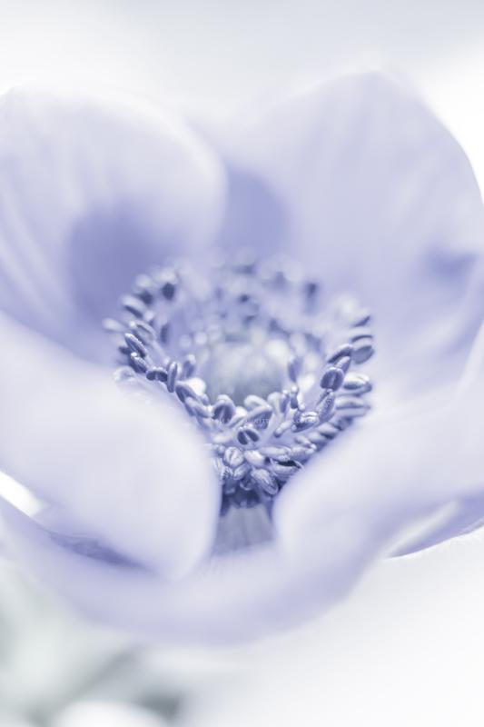 anemonepastel12-1-17