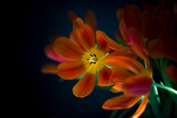 tulipes19-1-17-1