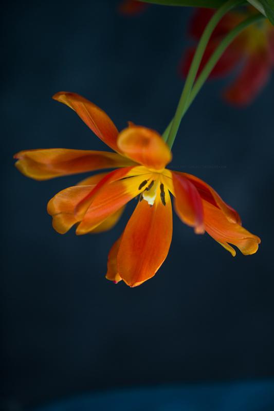 tulipes19-1-17-2