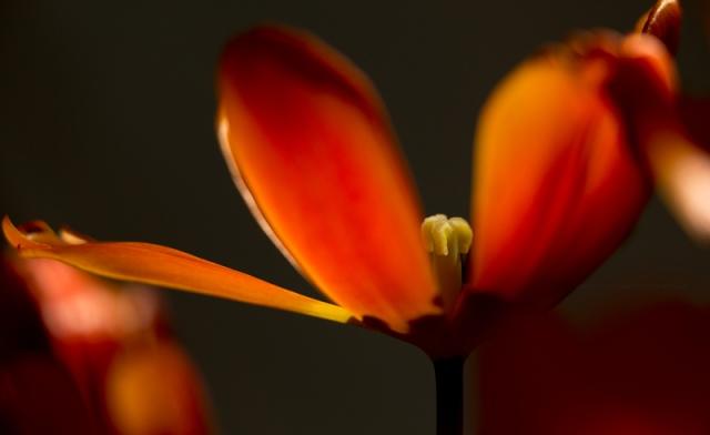 tulipes19-1-17-4