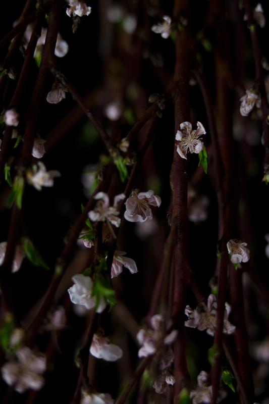 cerisier05-3-17-7