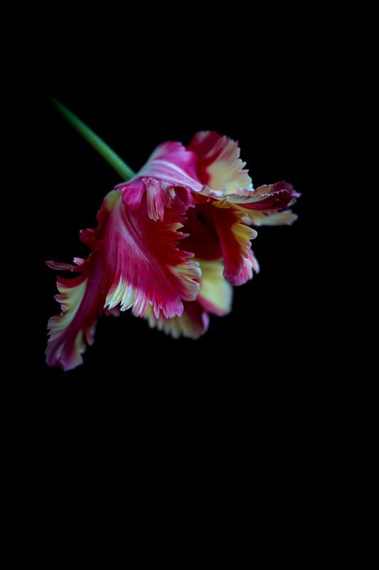 Tulipe24-03-17-2a