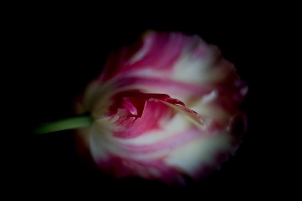 Tulipe24-03-17-4a