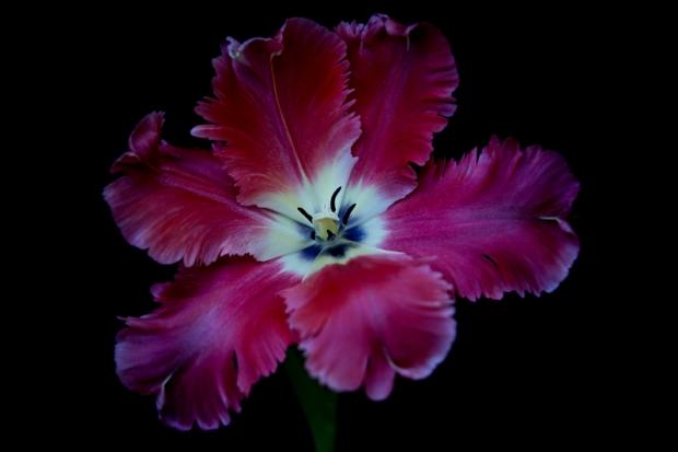 Tulipe24-03-17-5