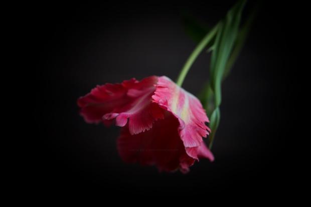 Tulipe24-3-17-1