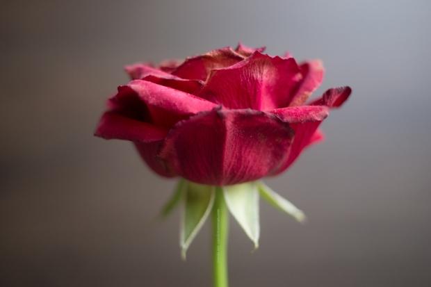 RoseFanee15-4-17