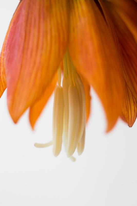 Fritillaria6-5-17-5