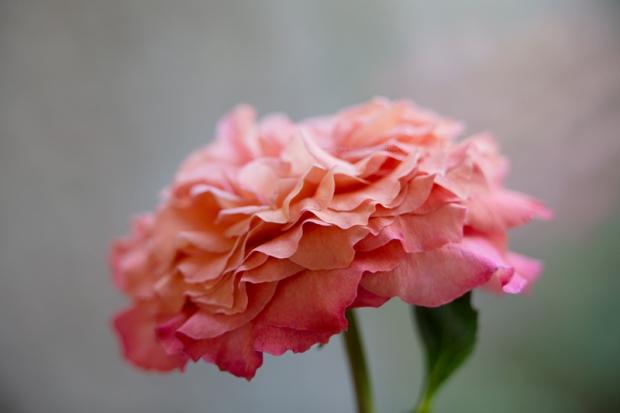 Rose30-6-17