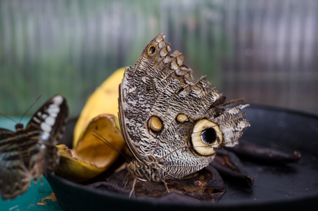 Papillon11-7-17-5
