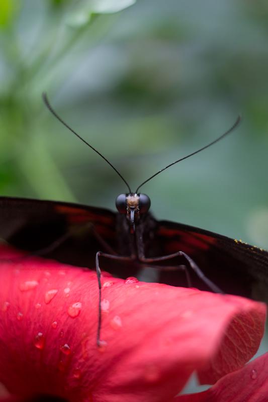 Papillon11-7-17-6b