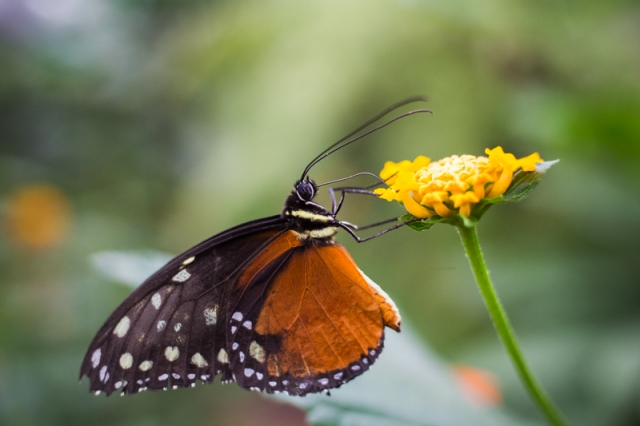 Papillon11-7-17-7b
