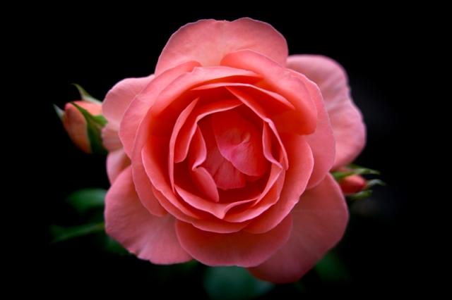 Rose31-7-17-1