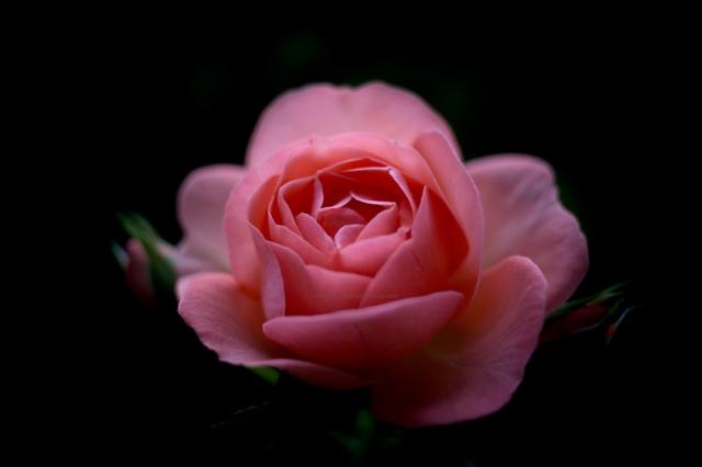 Rose31-7-17-2